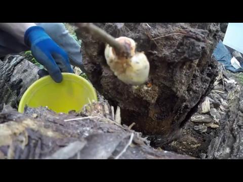 Papilloma vírus elleni vakcina és szemölcsök
