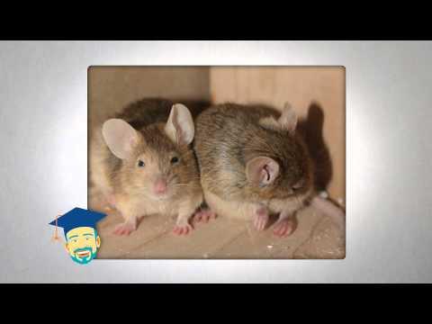 Ask the Pest Professor: Mouse Hunt