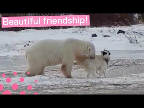 Полярный медведь подружился с собакой