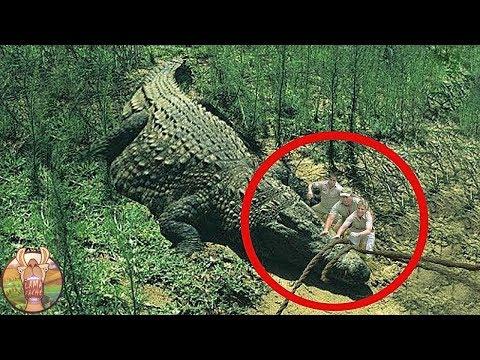 On a trouvé le plus grand crocodile de tous les temps!