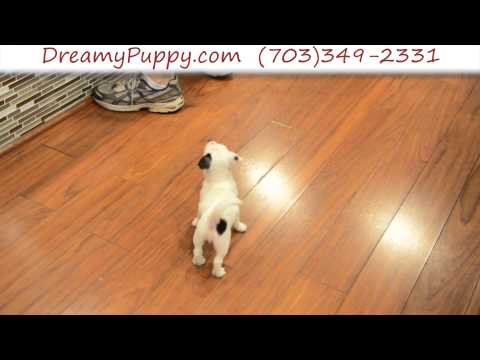 Spunky Jack Russell Terrier Female Puppy