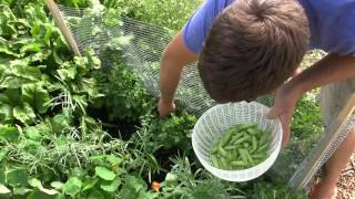 Harvesting Peas from 8 Inch Tall Plants!