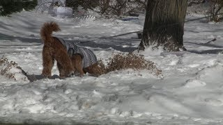 Dogs Just as Susceptible to Frostbite, Hypothermia in Cold Temperatures