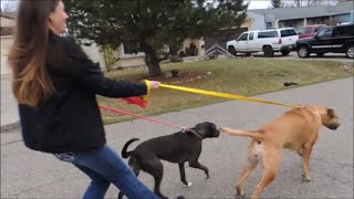 Dare You to Watch! Dog Dragging Owner on Walk - SafeCalm - Dog Whisperer BIG CHUCK MCBRIDE