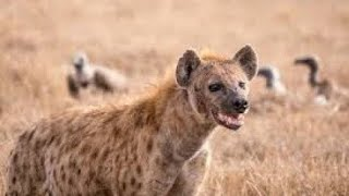 Hyena Alive In The World !