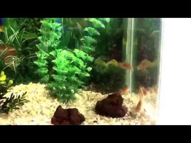 Meu primeiro aquário com meus primeiros peixes (coridoras bronze)