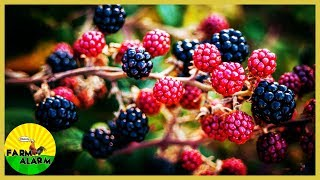 6 Tips for Successful Blackberry Growing - Pruning | Transplant