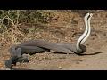 çiftleşen yılanlar iki kara yılan dövüşü kavgası yılanların dansı