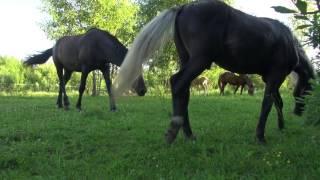 Прогулка с лошадьми. Релакс видео, звук 5.1, звуки природы.