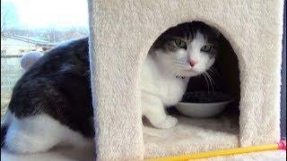【晩ご飯を待っているのが可愛い猫】The cat waiting for dinner is cute.