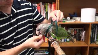 How to Put Flight Harness on a Cape Parrot