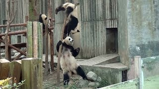 preview picture of video 'Panda cubs Chengdu 2013  大熊猫 パンダ 成都'
