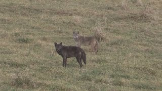 Black Coyote Double (Warning!!! Coyotes Die In This Clip)