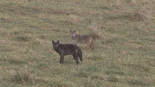 Смотреть онлайн Как пастухи убивают койотов в США