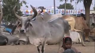Indias Holy And Pampered Cows