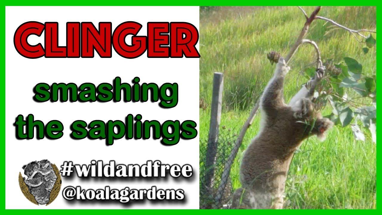 CLINGER – smashing those saplings.