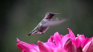 Kolibřík - úžasná fakta o víře