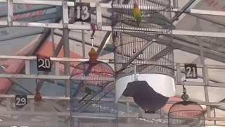 LOMBA LOVE BIRD SUARA INI COCOK BUAT MANCING NGEKEK