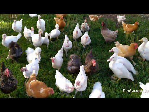 , title : 'Сколько голов домашней птицы можно держать на 1 сотке без особых проблем 🐓🐔🦃🦆