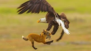 Fox Fights With Bald Eagle In MIDAIR - Video Youtube