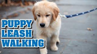 Puppy leash walking training |Teaching a puppy to walk on a leash