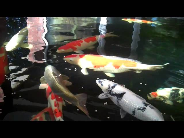 Stephen Anderson and his Champion Koi collection