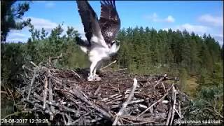 Are All Osprey THIS Vocal? Surprise Fart too!