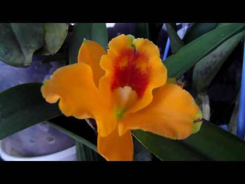 Про наши орхидеи. Обзор.