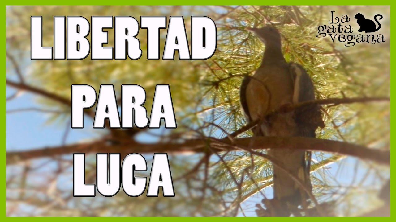 RECUPERACIÓN Y LIBERACIÓN DE TORCAZ LUCA | PICHÓN ENCONTRADO EN LA CALLE EN MAL ESTADO 2/2
