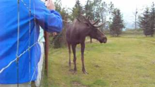 Alaskan Moose Conservation