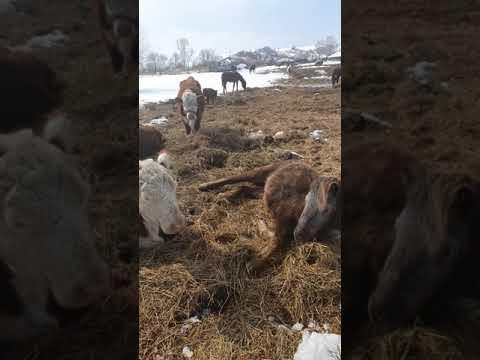 Как спят лошади/ семья Фетистовых