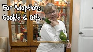 Senegal Parrot Pair for Adoption at Ginger's Parrot Rescue - Cookie & Otis