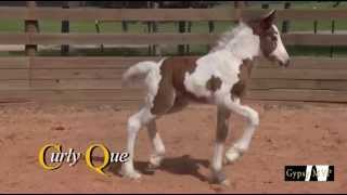 MVP Curly Que: Gypsy Vanner Horses for Sale | Filly | Tri-Color