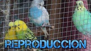 Reproducir Periquitos De La Misma Familia -Rincon Animal