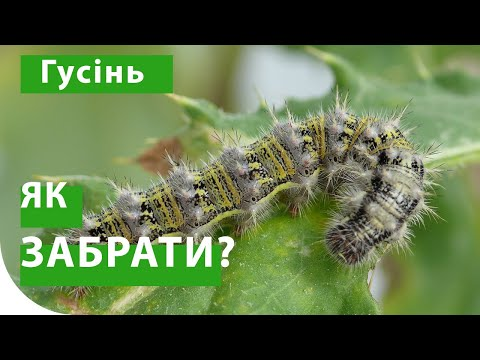 Гусеница - как бороться? Репейница на сое, совка на подсолнечнике