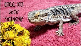 FEEDING Bearded Dragons Dandelion WEEDS?   Lizards Eating Plants