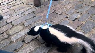 Taking a skunk for a walk