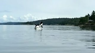 Orca freed from fishing gear in B.C. 'thanks' rescuers