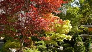 How to choose a Japanese Maple such as Fire Glow & Autumn Moon!