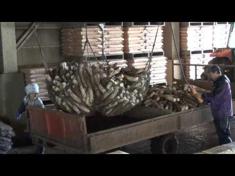 漬物用大根の収穫から出荷