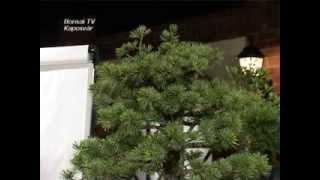 preview picture of video 'Bonsai alakítási bemutató Kaposvár 2009.05.23. - (teljes)'
