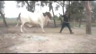 2 Teeth Ka Bachra || Demand 1 Million 2 Lack || Cow Mandi 2019
