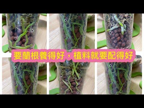 蝴蝶蘭陶粒半水培18)從植料轉到陶粒半水培全程示範)(5-12-2020)