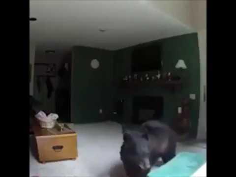 Медведь забрался в квартиру и сыграл на пианино