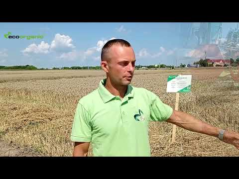 Harvesting of winter wheat at the demo landfill of EKOORGANIK LLC in Rivne region