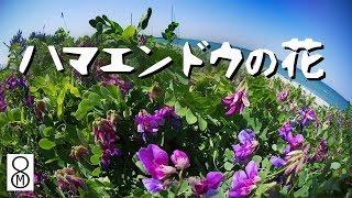 ハマエンドウの花