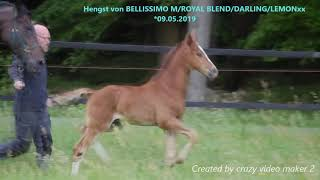 video of Prämienhengstfohlen von Belissimo NRW / Royal Blend / Darling