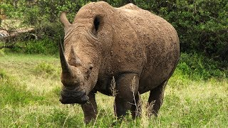 Is Taking Vitamins An Adequate Substitute For Eating Rhino Horns?
