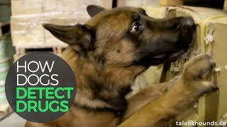 How Dogs Detect Drugs!