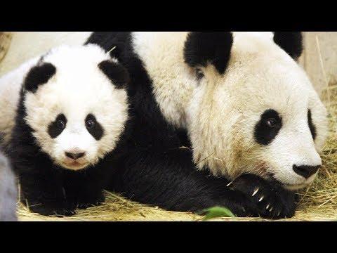 В зоопарке Вены панды-близнецы отмечают первый день рождения (новости)